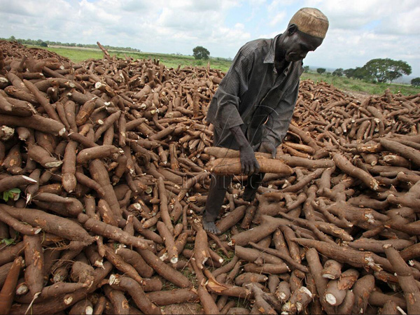 Importance and benefits of cassava