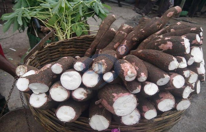 collecting the cassava